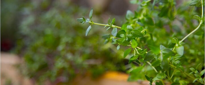 Organic Thyme – The Magical Healer